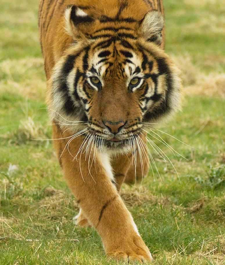 Image of: Cow 9 Tiger Worlds Most Awesome Most Dangerous Animals In The World Top 10